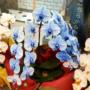 希少な青い胡蝶蘭ブルー・エレガンスに今日オープンの『なんばスカイオ』で遭遇